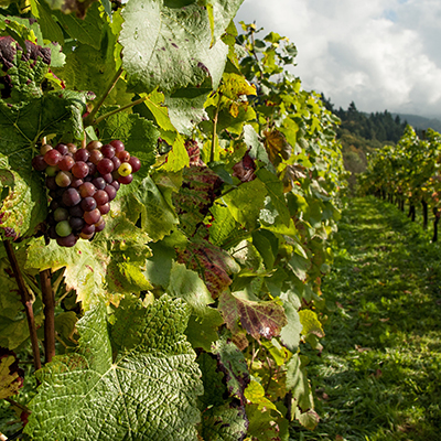 grapes-vinyard-field